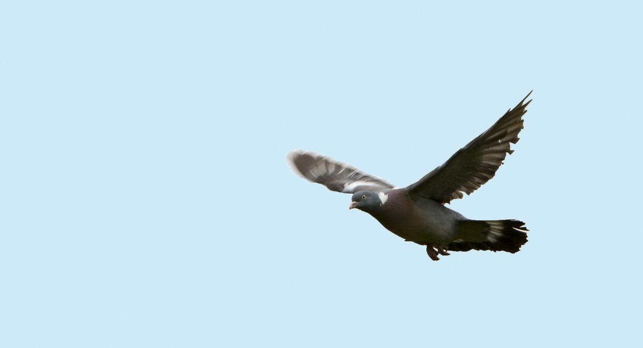 Tipos de palomas